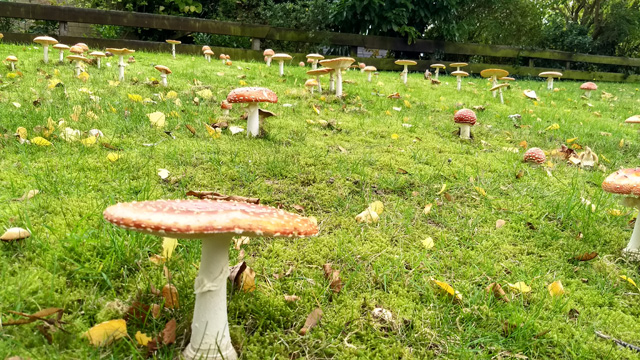 group of fly agaric