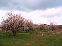 Cvijetanje badema, Donji Humac slike otok Brač Online