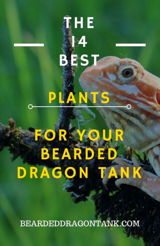 14 Awesome Bearded Dragon Plants You Can Use For Your Tank
