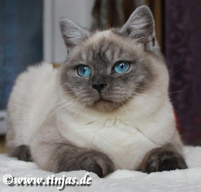 BKH Katzenbaby 6 Monate seal smoke point aus der Tinjas Katzenzucht
