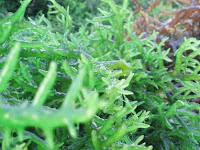 Rumput Laut, Si Ratu Serat Berjuta Manfaat. Menurut Drs. Wanda S, Atmadja, MSc