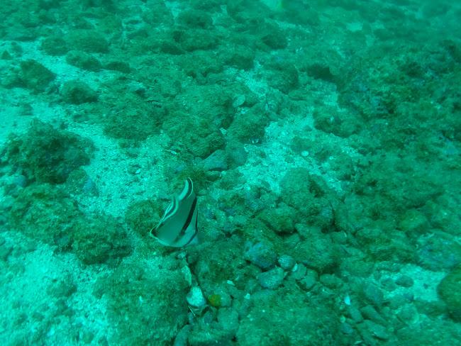 Uno de tantos peces que vimos buceando en playas del Coco