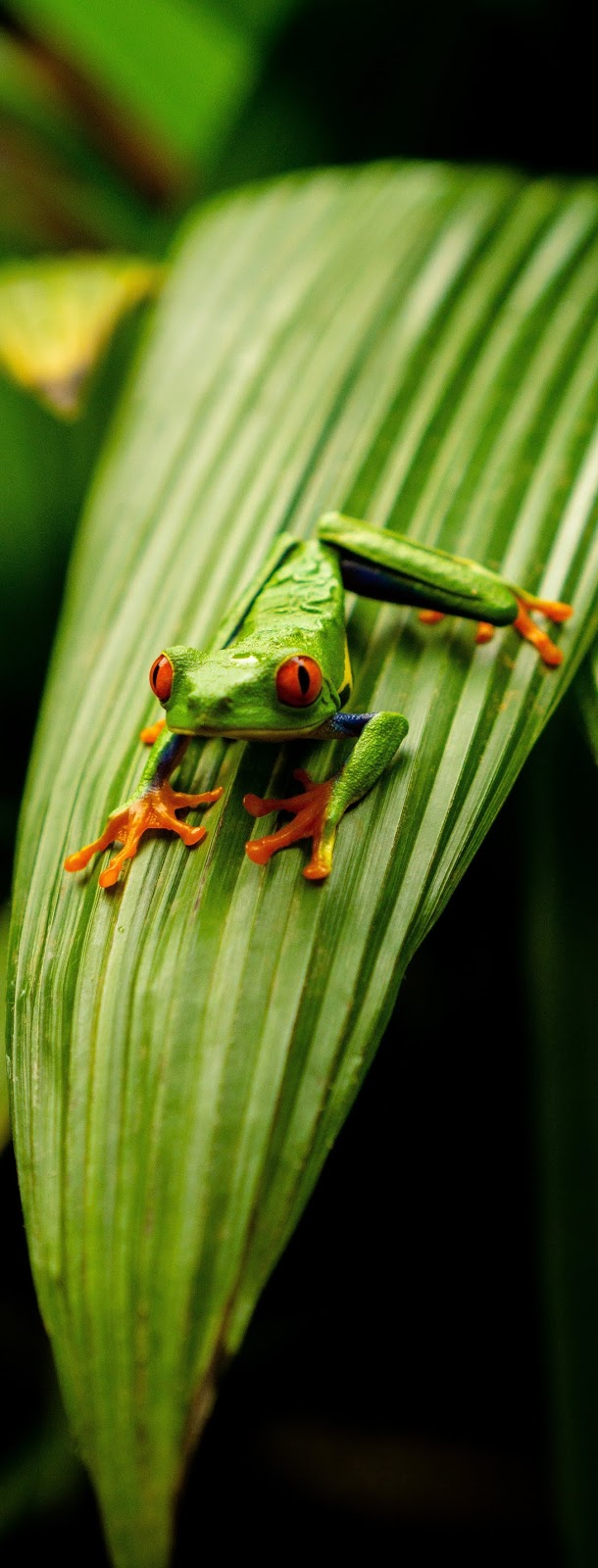 A tree frog on leaf.