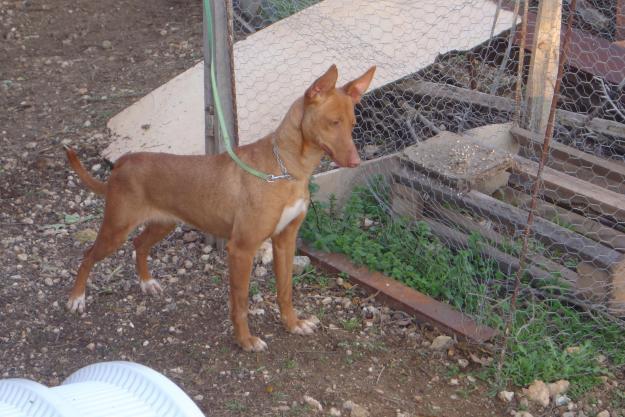 Perros de Caza: Podenco Andaluz