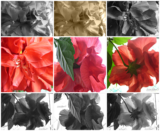 "Floral portrait in June. New blooms of Red Hibiscus. ""Hibiscus (/hᵻˈbɪskəs/ or /haɪˈbɪskəs/) is a genus of flowering plants in the mallow family, Malvaceae. The genus is quite large, containing several hundred species that are native to warm-temperate, subtropical and tropical regions throughout the world. Member species are often noted for their showy flowers and are commonly known simply as hibiscus, or less widely known as rose mallow. The genus includes both annual and perennial herbaceous plants, as well as woody shrubs and small trees. The generic name is derived from the Greek word ἱβίσκος (hibískos), which was the name Pedanius Dioscorides (ca. 40–90) gave to Althaea officinalis."" more info on Wikipedia."