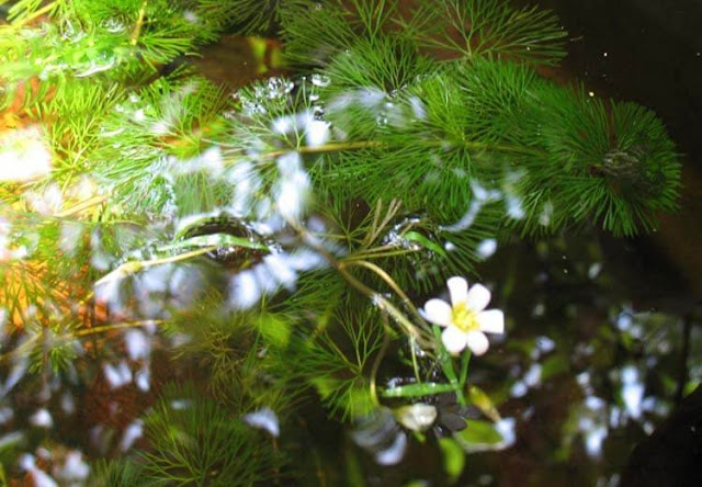 Cách chăm sóc cây La Hán Lá Xanh