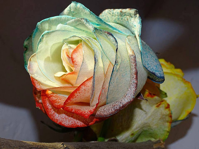 The most beautiful roses !