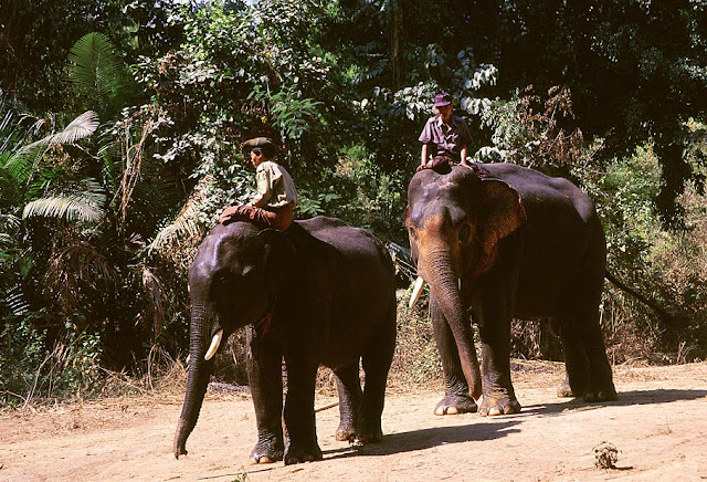 Asian Elephants at Alaungdaw Kathapa