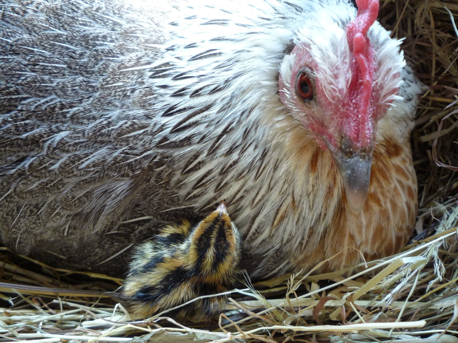 Organic quail chick and mother hen