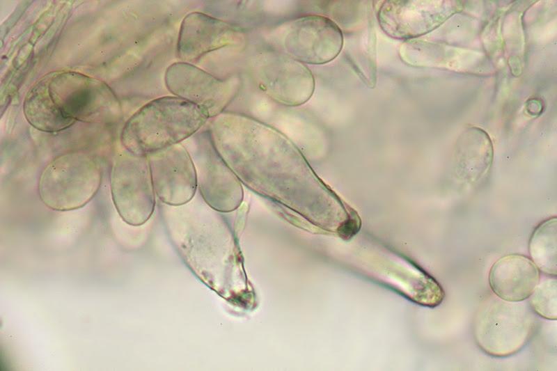 El mundo microscópico de los hongos: Inocybe praetervisa ss. Kühn-Bourd.