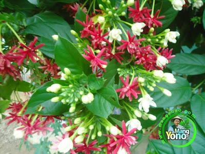 FOTO 2 : Penampakan bunga Melati Belanda / Melati Merah