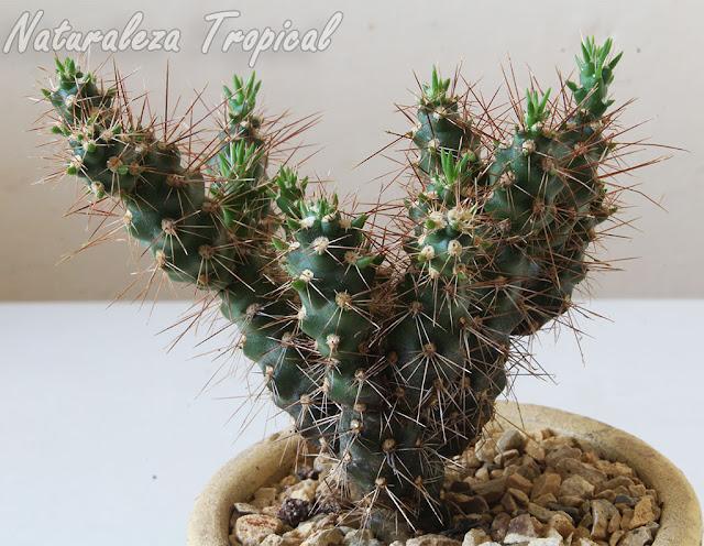 Vista del cactus Corynopuntia vilis