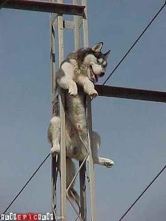 climber husky