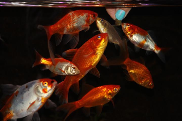 Des poissons une passion que sont les poissons rouges for Nourriture poisson rouge super u