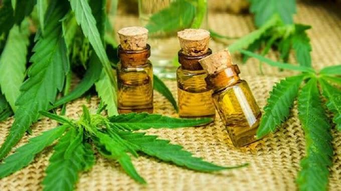 SAÚDE: Comissão do Senado aprova descriminalização da maconha para uso medicinal.