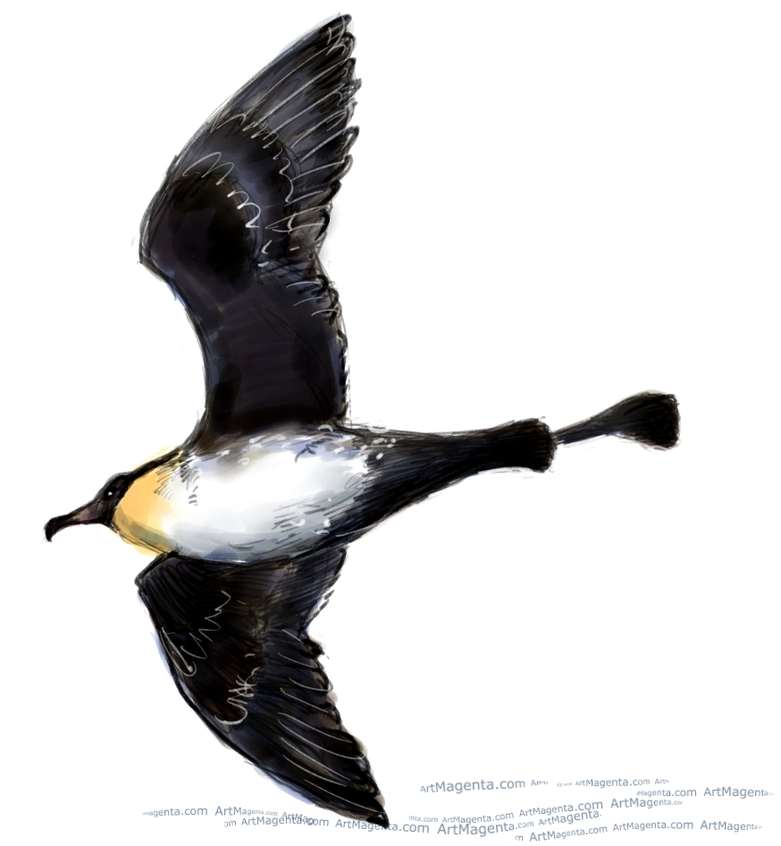 Promarine Skua sketch painting. Bird art drawing by illustrator Artmagenta