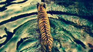 مجموعة كبيرة من خلفيات النمور, صور 2017, للاندرويد, فيس بوك, صور شخصية, خلفيات النمور للكمبيوتر, تحميل, البوم, افضل صور التقطت للنمور, صور حيوانات جميلة, Wallpaper Tiger HD, photo, cover, كوفر فيس بوك نمر.tiger ,photos hdخلفيات نمور hd,اجمل النمور في العالم,اجمل نمر في العالم,نمر المخطط,lion pictures,صورفهد,خلفيات نمر,tigers,tiger photos,اجمل نمر في العالم,صورفهد,نمر المخطط,,lion pictures,خلفيات نمور hd,صورنمر,tigers,رسم نمر,Collection of Tiger Wallpapers and Wallpaper 2018 Wallpaper Tiger HD,A great collection of tiger wallpapers, pictures of 2017, for Android, Facebook, personal photos, tiger wallpapers forcomputer, download, albums, best pictures of the tigers, pictures of beautiful animals 2017, WallpaperTiger HD, photo, cover.Wallpapers of Tigers,The most beautiful tigers in the world,The most beautiful tiger in the world,Tiger chart,Lion pictures,Photoshoot,Wallpapers of Tiger,Tigers,Tiger photos,The most beautiful tiger in the world,Photoshoot,Tiger chart,Lion pictures,Wallpapers of Tigers,Photo,Tigers,Drawing a tiger,