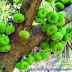 ডুমুর এর উপকারীতা ( Benefits of Fig )