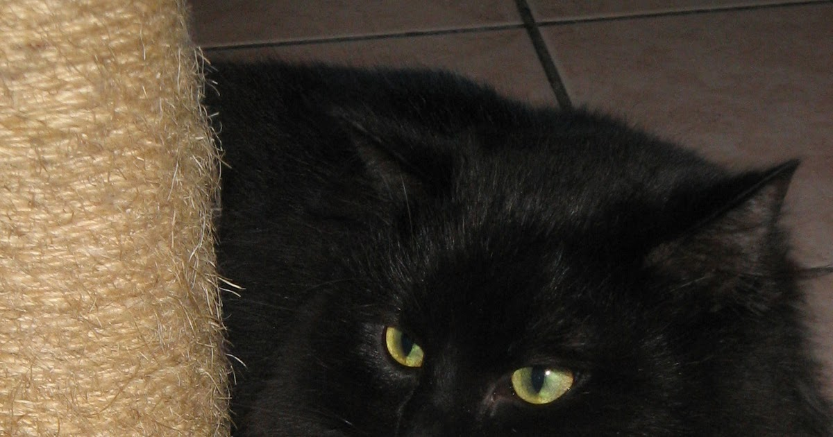 canin sans famille toulouse chat noir poils longs adopt. Black Bedroom Furniture Sets. Home Design Ideas