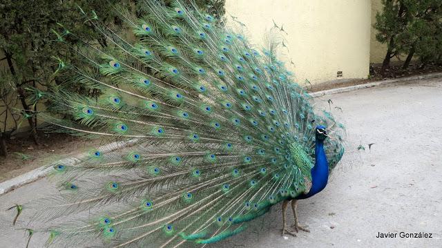 Pavo real extendiendo las plumas de la cola