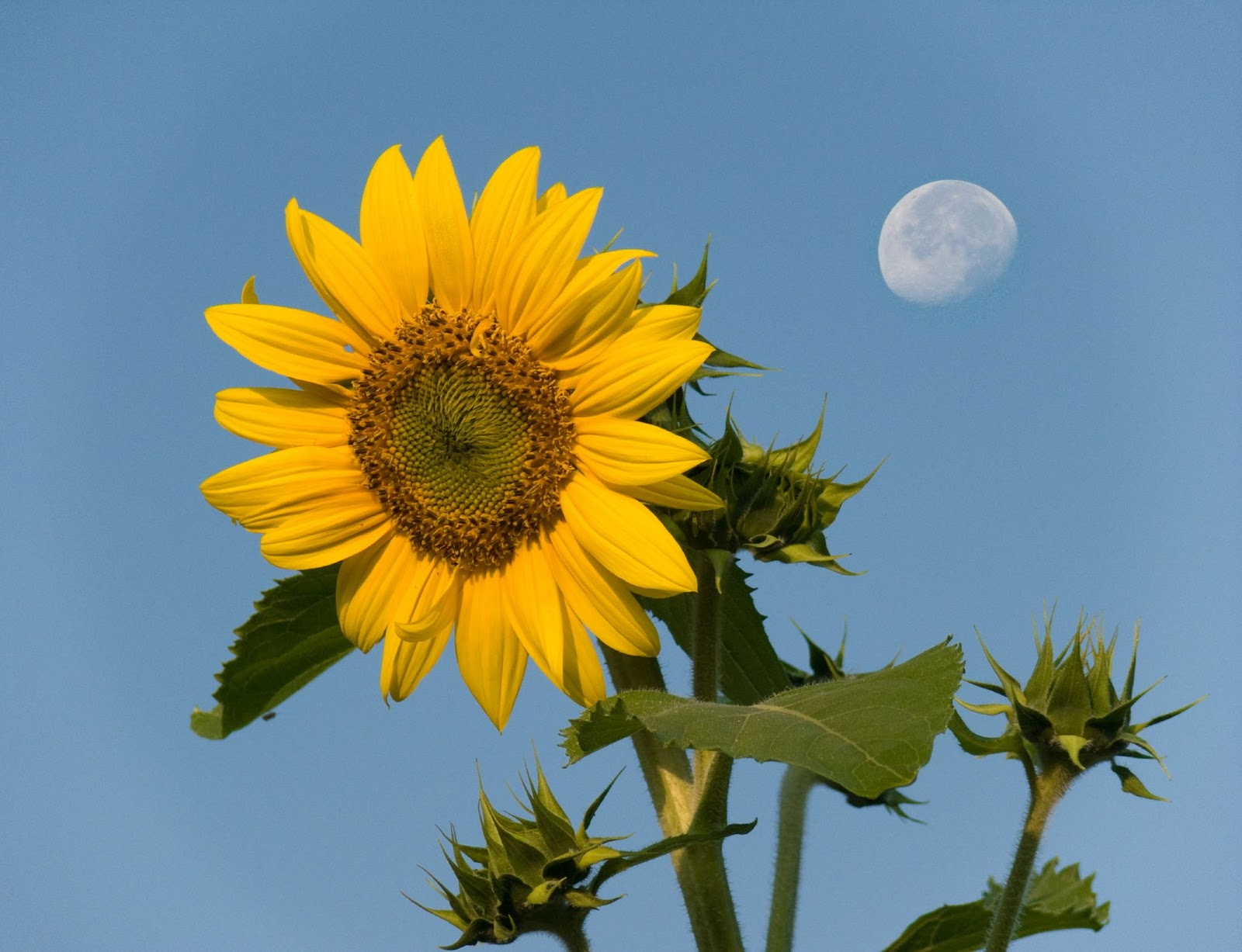 Memory Is The Bursts Of Flowers: Sunflower Wallpaper