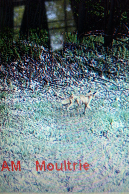 mangy fox caught on trail cam