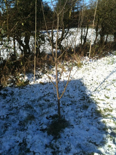 How to winter prune fruit trees.