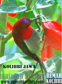 kolibri jago