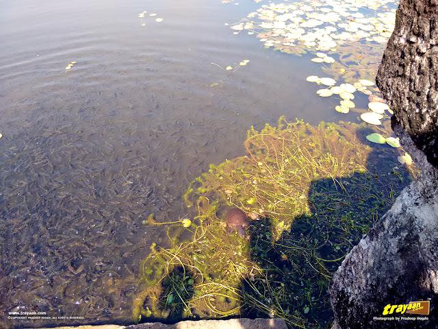 A freshwater turtle in Varanga lake