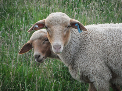 The Electric Fence, shared by Mitten State Sheep & Wool at The Chicken Chick's Clever Chicks Blog Hop