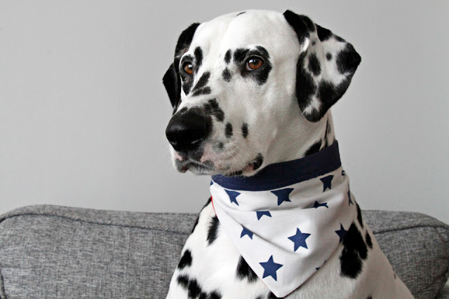 Dalmatian dog wearing a DIY bandana with blue stars