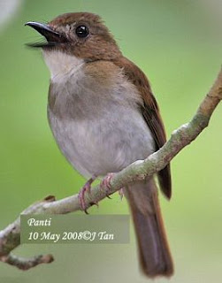 Harga Burung Sikatan Londo : harga, burung, sikatan, londo, Gambar, Burung, Sikatan, Rimba, Terbaru