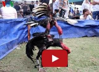 Video sabung ayam vietnam