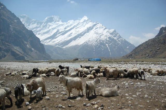Sheep near Himalayas