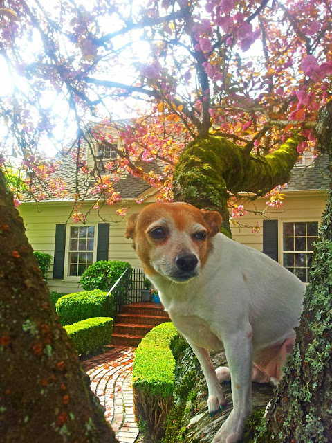 Spring, Cottage, Country Living, Gardening, Garden, Cherry Blossoms, Cottage Style, Landscaping, Whimsical, Chihuahua