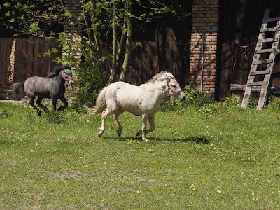 konie, kucyki, konie na wybiegu, zabawy kucyków, pensjonat dla koni w Węgrzcach koło Krakowa