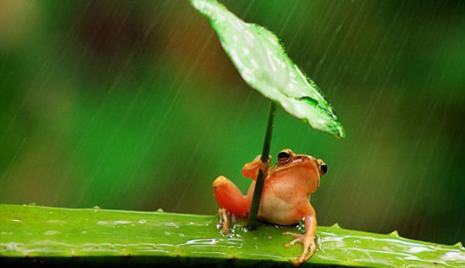 KATAK ini GUNAKAN DAUN sebagai PAYUNG Saat Hujan  Segala