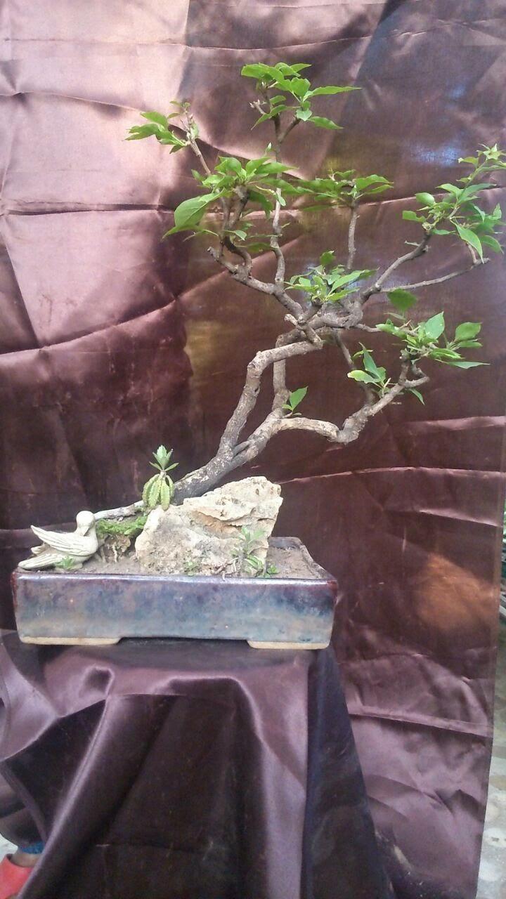bougainvillea bonsai plant ahmedabad
