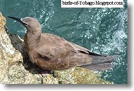 Brown Noddy (Anous stolidus) Turns (Laridae)