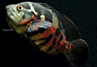 Cara Membedakan Ikan Oscar Jantan dan Betina