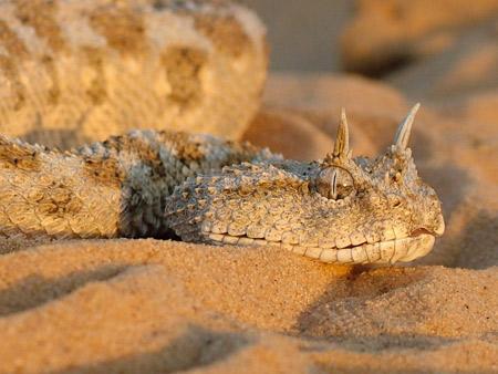 งูฮอร์นไวเพอร์(Horned Viper)