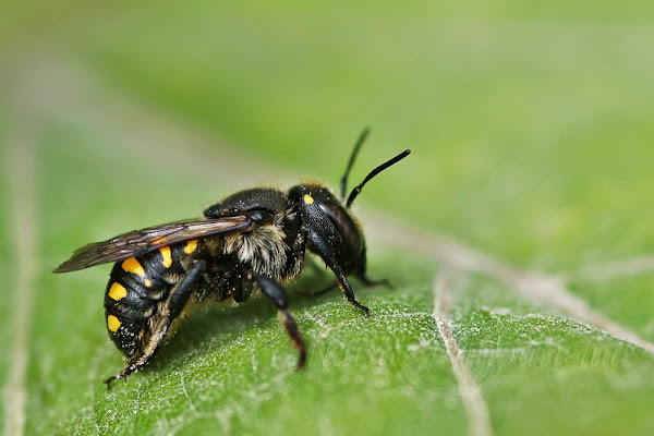 Anthidium sp