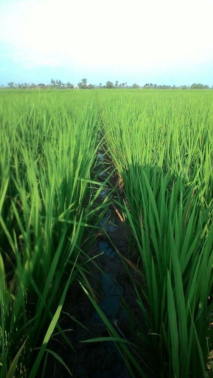 Padi Ciherang usia 45 hst aplikasi pupuk organik cair plus hayati komplek Bio Optifarm bebas asem-aseman atau ambles