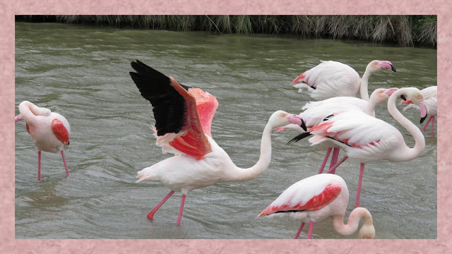Pink Flamingos in the Camargue Wetlands