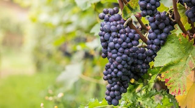 Australian Pinot Noir Grapes