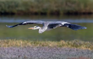 Birds in Flight Photography Cape Town: Grey Heron