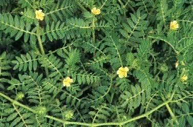 tanaman untuk penambah libido