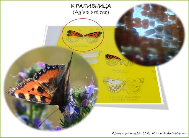 бабочка-крапивница-крыло-под-микроскопом-коллекция