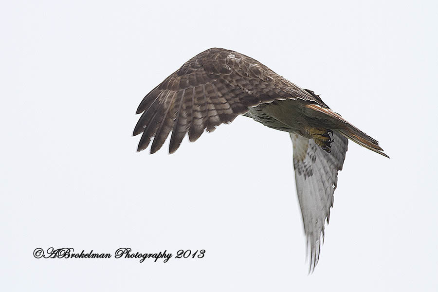 Red tailed hawk female
