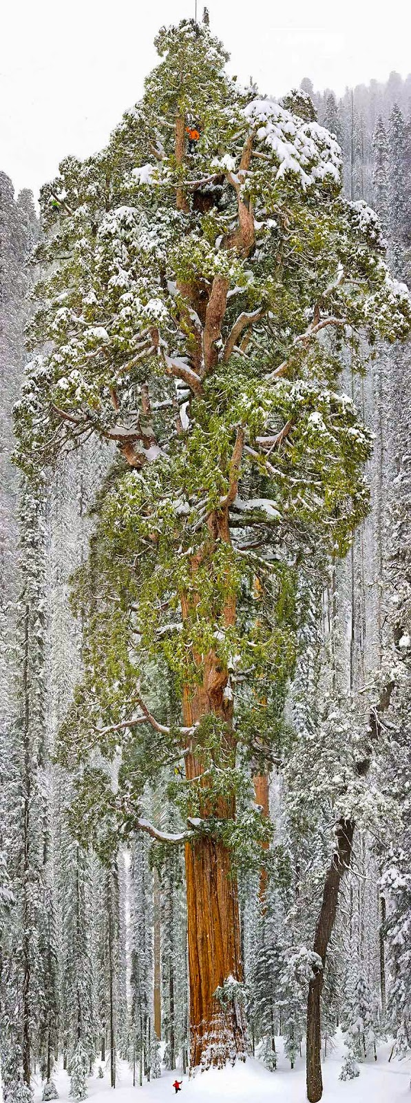 #10. The President, the world's 3rd largest Sequoia in California - 16 Of The Most Magnificent Trees In The World.